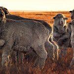 merino-sheep2
